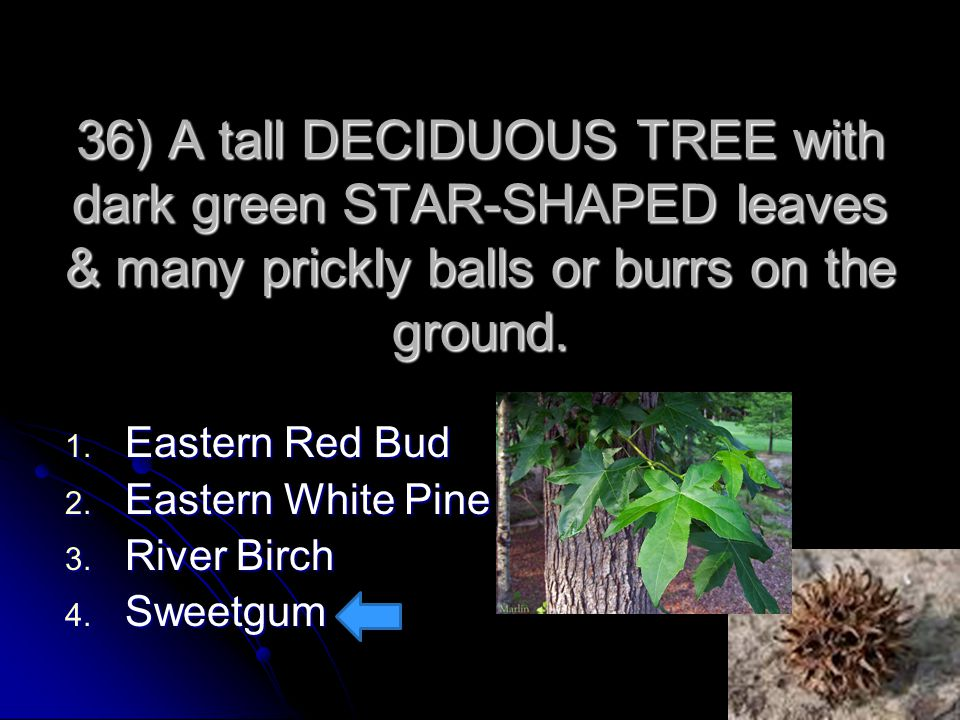 36) A tall DECIDUOUS TREE with dark green STAR-SHAPED leaves & many prickly balls or burrs on the ground. 1. Eastern Red Bud 2. Eastern White Pine 3.