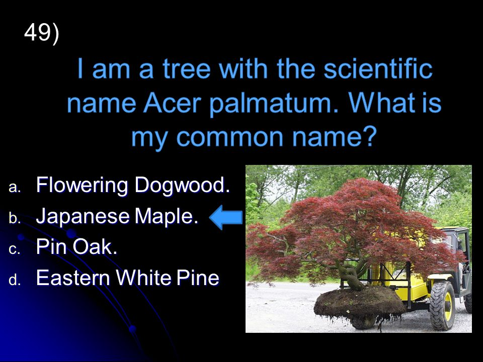a. Flowering Dogwood. a. Flowering Dogwood. b. Japanese Maple. b. Japanese Maple. c. Pin Oak. c. Pin Oak. d. Eastern White Pine 49)