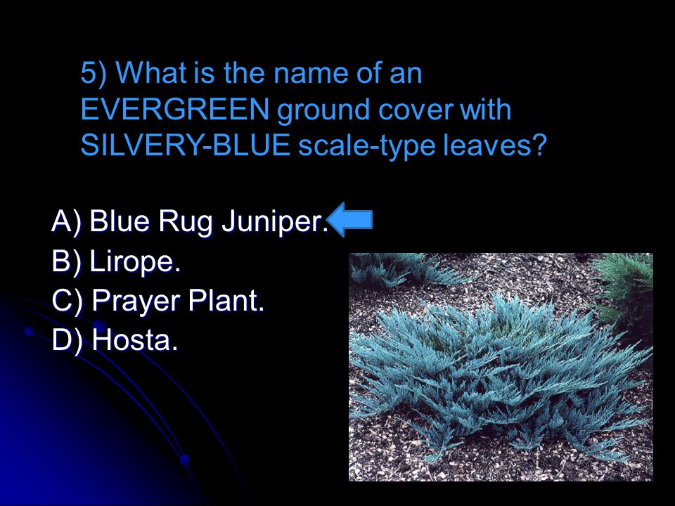 A) Blue Rug Juniper. A) Blue Rug Juniper. B) Lirope. B) Lirope. C) Prayer Plant. C) Prayer Plant. D) Hosta. 5) What is the name of an EVERGREEN ground