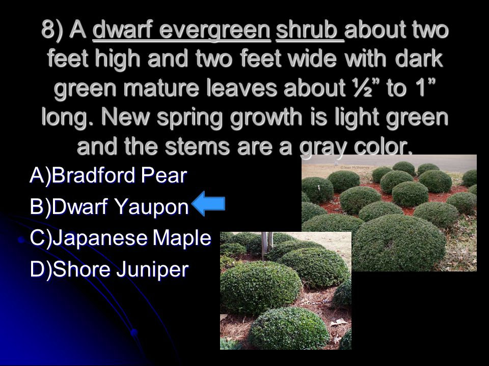 8) A dwarf evergreen shrub about two feet high and two feet wide with dark green mature leaves about ½ to 1 long. New spring growth is light green and