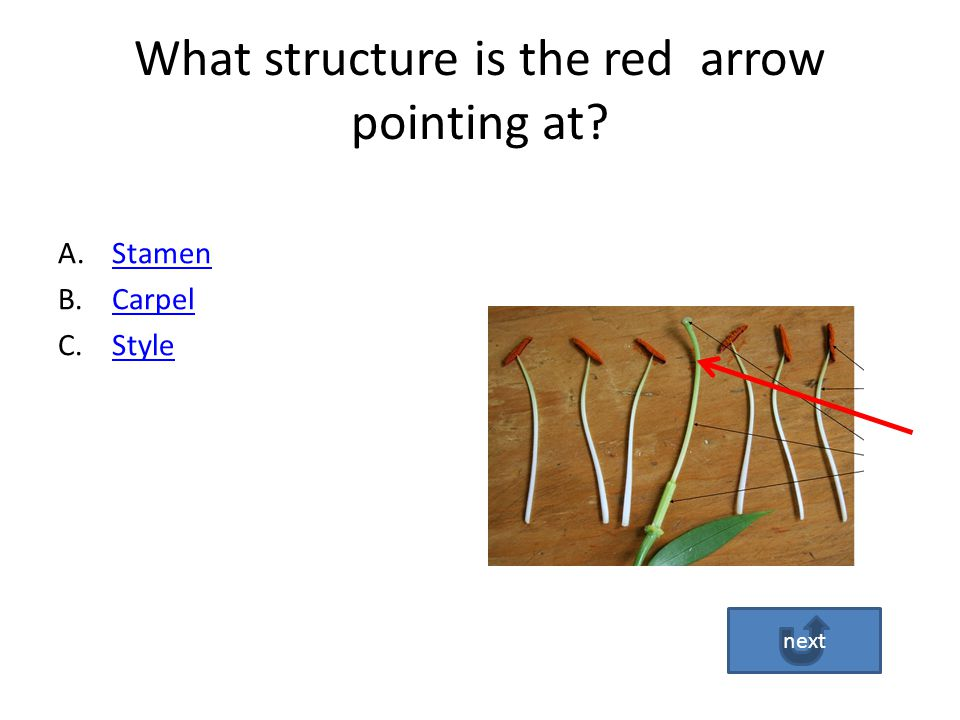 Answer D is incorrect! The Stigma is the top of the carpel that is sticky for the pollen to land on for fertilization to take place. Go Back Try Again
