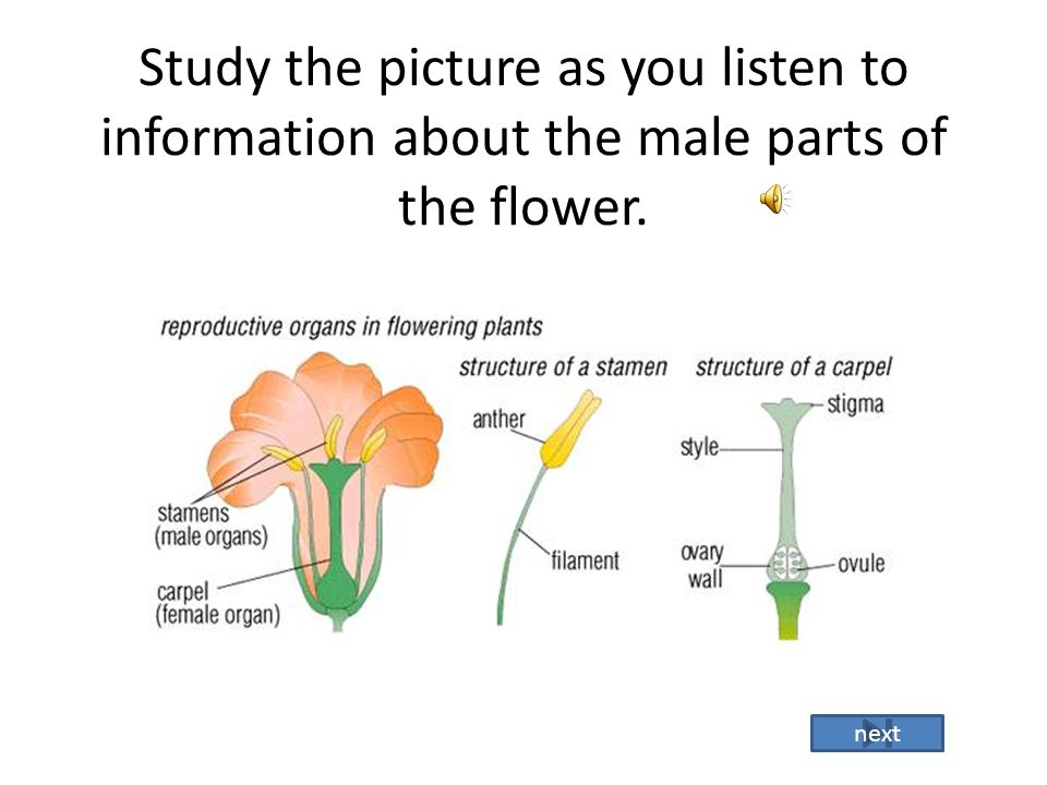 Structures of the flower that you will learn. Male Part: Is called the Stamen. The Stamen is made up of : -Filament- is the stalk that holds up the an