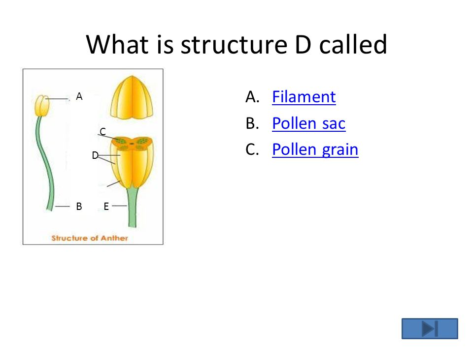 C is the correct Answer! Yes, the pollen grain is inside the pollen sac.