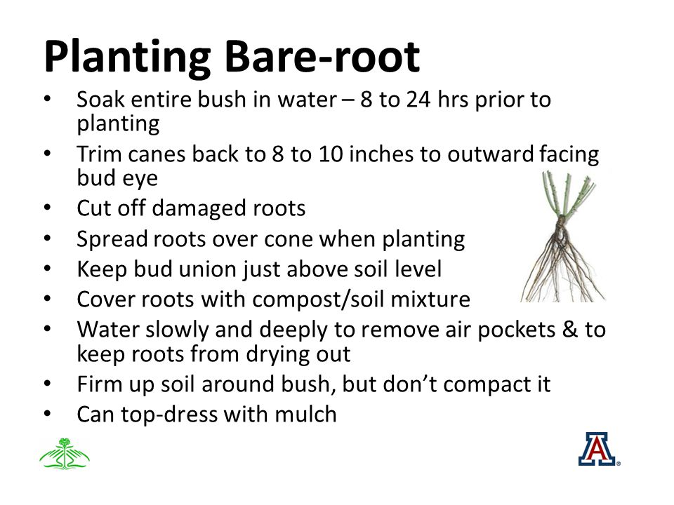 Planting Bare-root Soak entire bush in water – 8 to 24 hrs prior to planting Trim canes back to 8 to 10 inches to outward facing bud eye Cut off damag