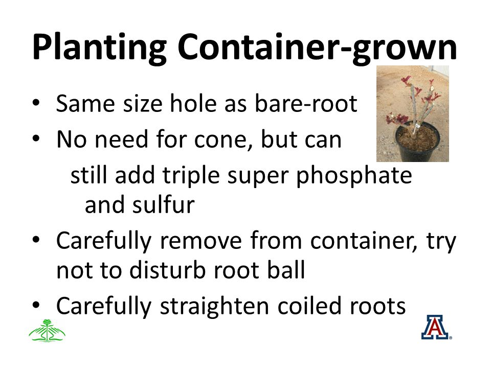 Planting Container-grown Same size hole as bare-root No need for cone, but can still add triple super phosphate and sulfur Carefully remove from container, try not to disturb root ball Carefully straighten coiled roots