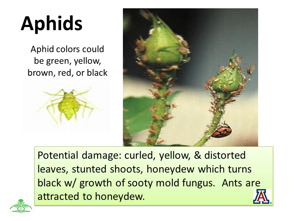 Aphids Aphid colors could be green, yellow, brown, red, or black Potential damage: curled, yellow, & distorted leaves, stunted shoots, honeydew which turns black w/ growth of sooty mold fungus.