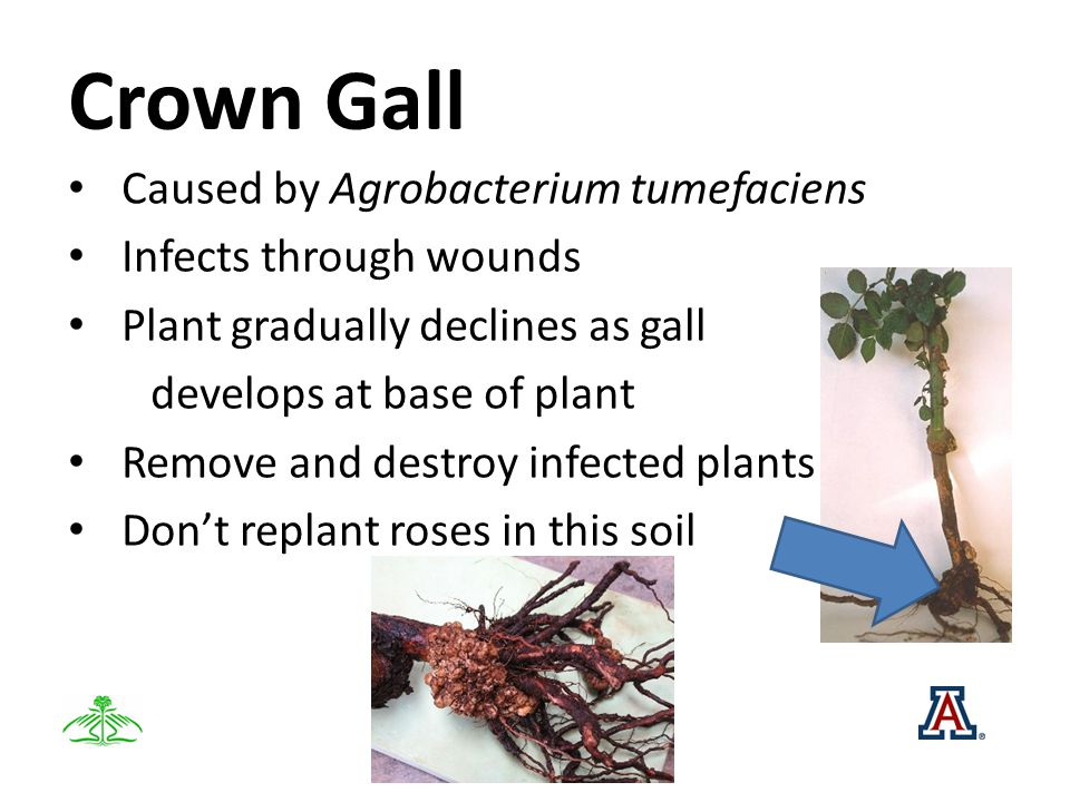 Crown Gall Caused by Agrobacterium tumefaciens Infects through wounds Plant gradually declines as gall develops at base of plant Remove and destroy infected plants Dont replant roses in this soil