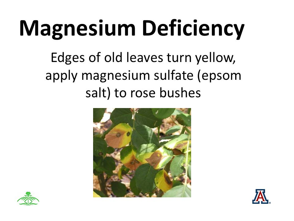 Magnesium Deficiency Edges of old leaves turn yellow, apply magnesium sulfate (epsom salt) to rose bushes