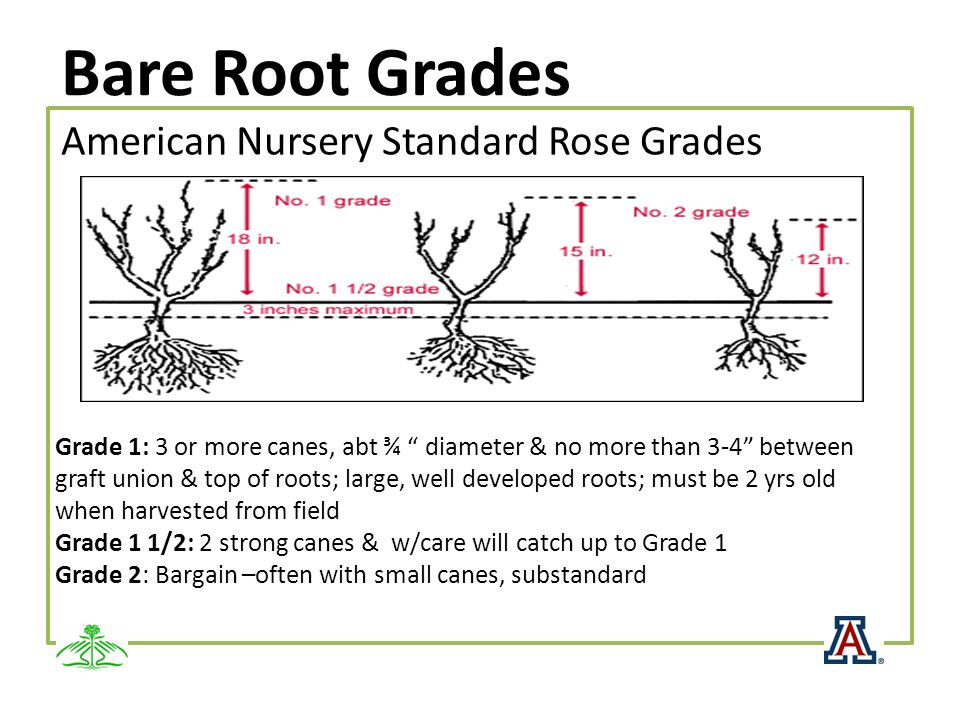 Bare Root Grades American Nursery Standard Rose Grades Grade 1: 3 or more canes, abt ¾ diameter & no more than 3-4 between graft union & top of roots;