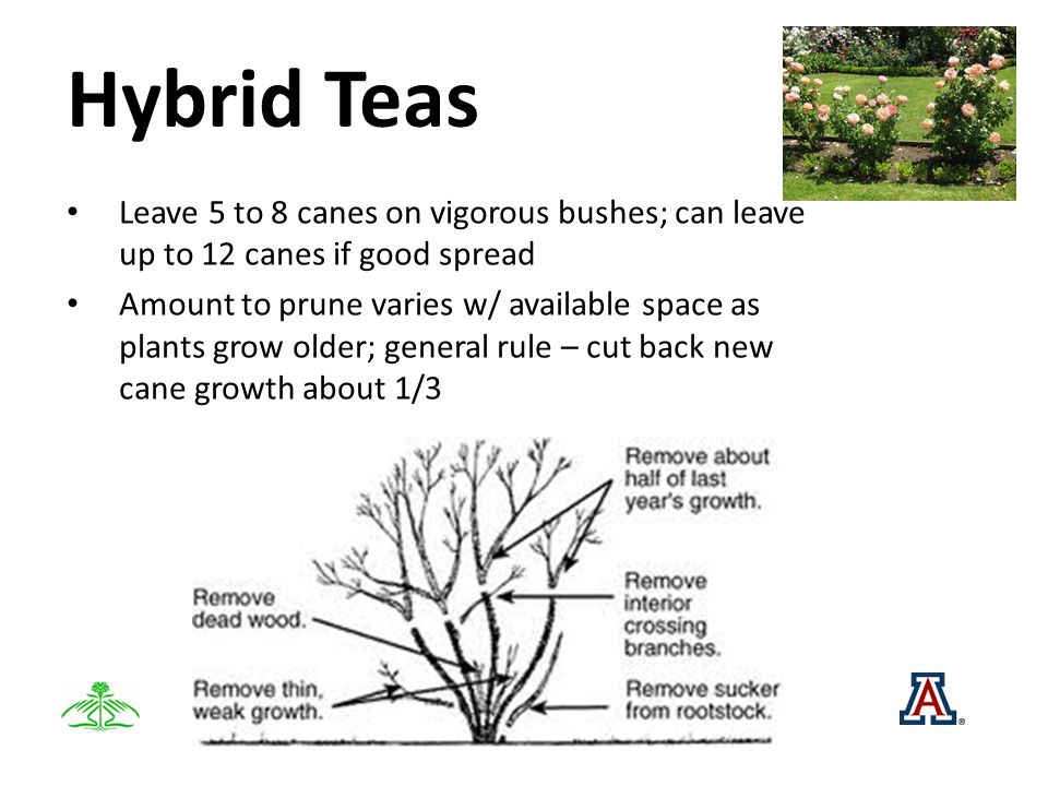 Hybrid Teas Leave 5 to 8 canes on vigorous bushes; can leave up to 12 canes if good spread Amount to prune varies w/ available space as plants grow older; general rule – cut back new cane growth about 1/3