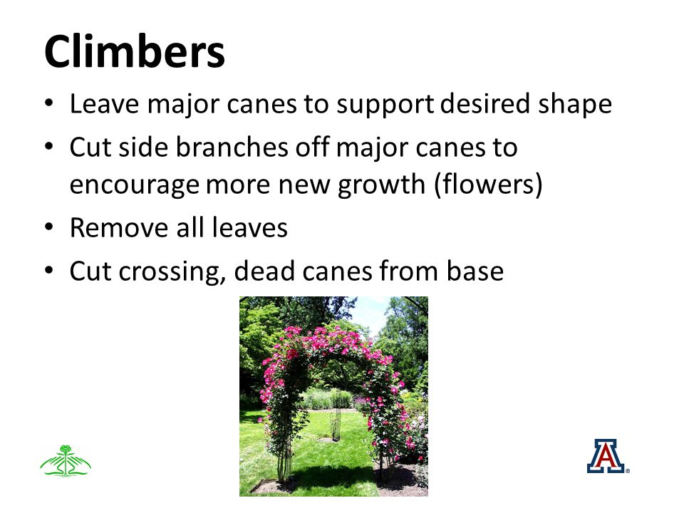 Climbers Leave major canes to support desired shape Cut side branches off major canes to encourage more new growth (flowers) Remove all leaves Cut crossing, dead canes from base