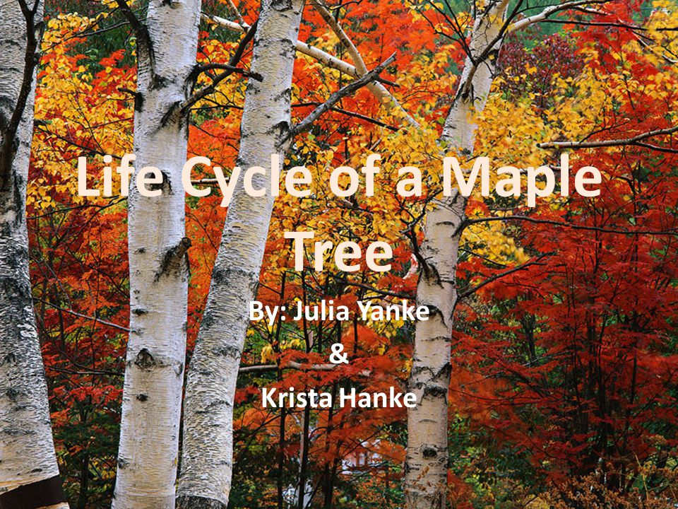 In the fall, green leaves of a maple tree turn red, yellow, and orange.