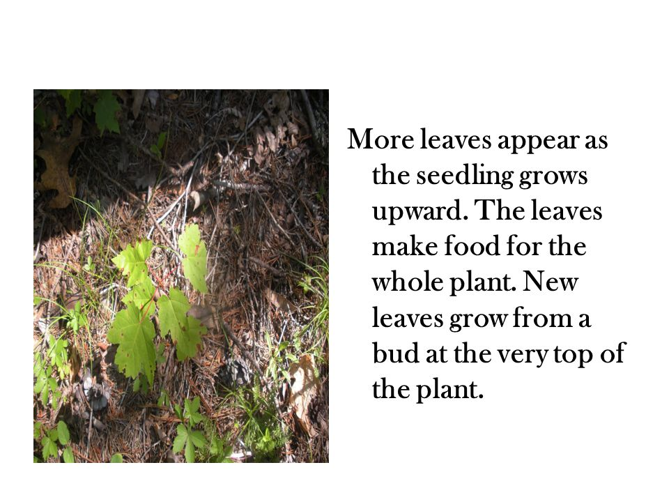 It takes many years for a maple seedling to become a full- grown tree.