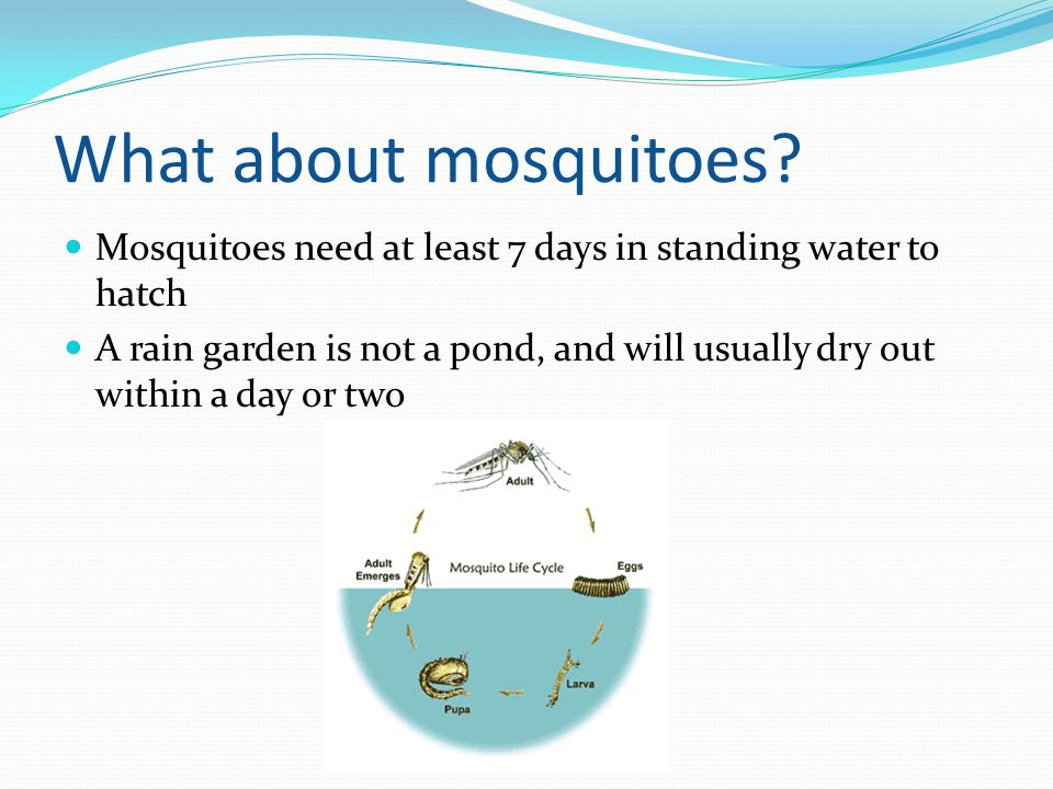 What about mosquitoes? Mosquitoes need at least 7 days in standing water to hatch A rain garden is not a pond, and will usually dry out within a day o