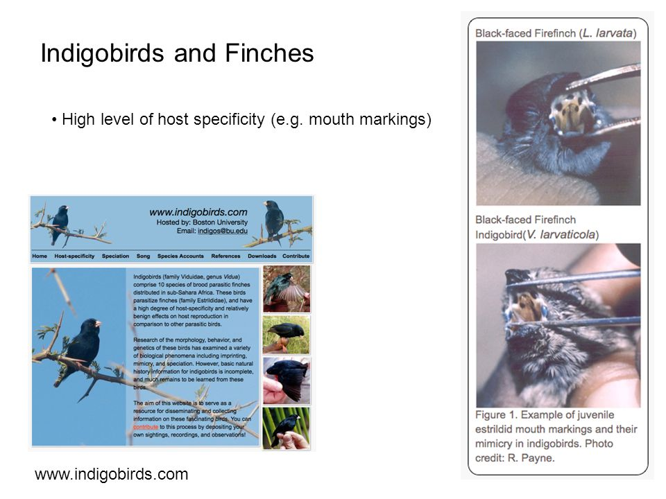 Indigobirds and Finches   High level of host specificity (e.g. mouth markings)