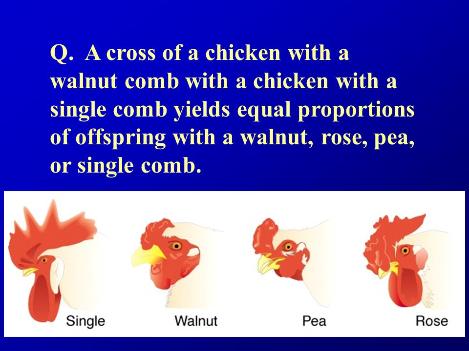 Q. A cross of a chicken with a walnut comb with a chicken with a single comb yields equal proportions of offspring with a walnut, rose, pea, or single