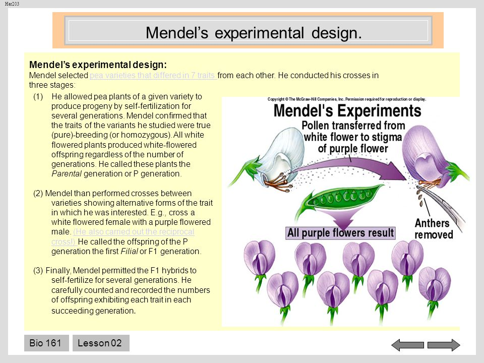 Bio 161Lesson 02 Mendels experimental design: Mendel selected pea varieties that differed in 7 traits from each other. He conducted his crosses in thr