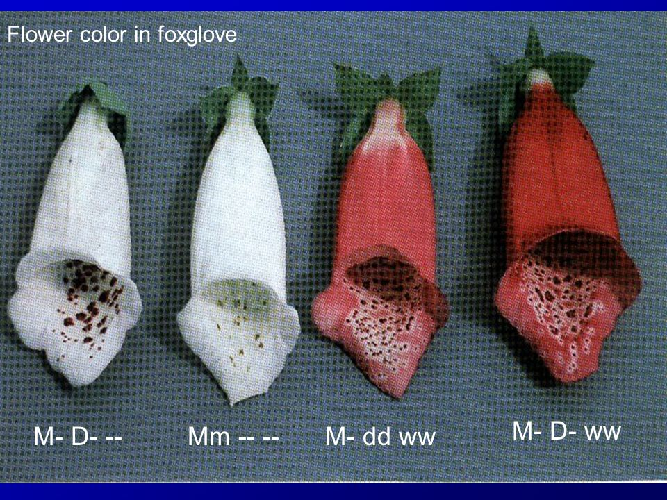 Flower color in foxglove M- D- --Mm -- --M- dd ww M- D- ww