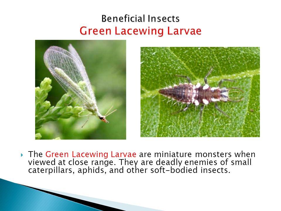Fern-leaf Yarrow Fennel Caraway Dill Coriander