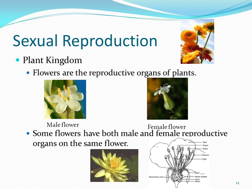 Sexual Reproduction Examples of organisms that reproduce sexually Chickens Iguanas Lobsters Sharks Humans Butterflies Sunflowers Roses 13