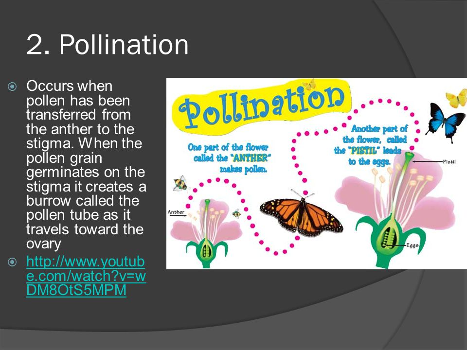 2.Pollination Occurs when pollen has been transferred from the anther to the stigma.