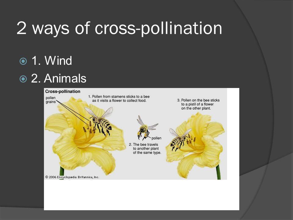 2 ways of cross-pollination 1. Wind 2. Animals