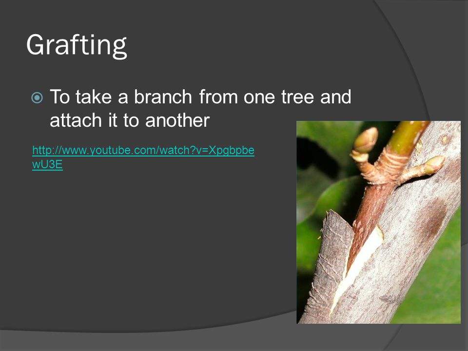 Grafting To take a branch from one tree and attach it to another http://www.youtube.com/watch?v=Xpgbpbe wU3E