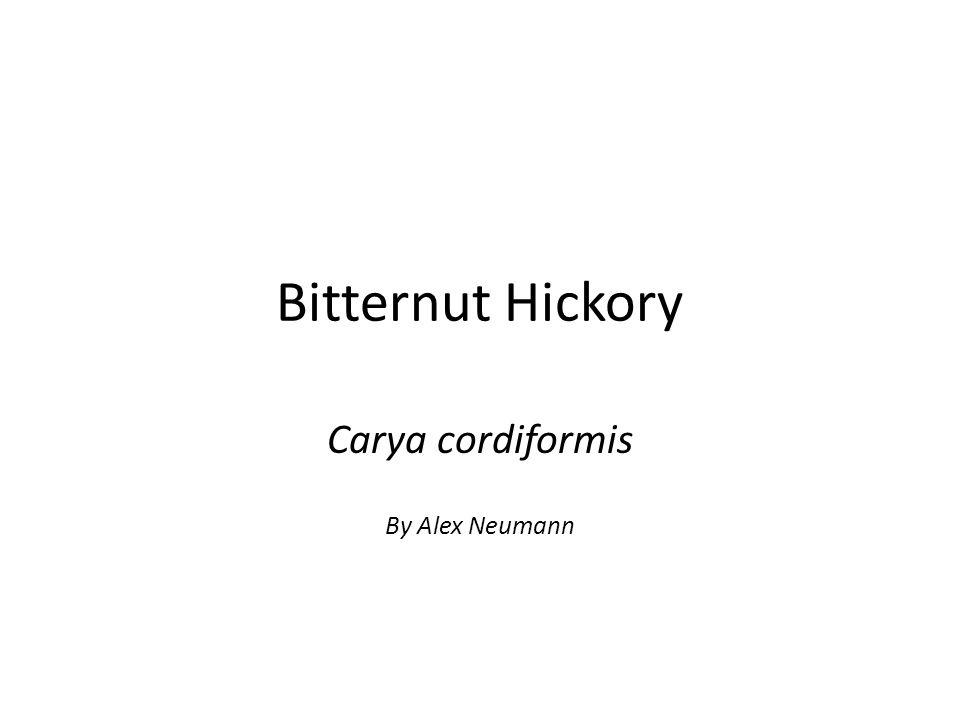 Bitternut Hickory Carya cordiformis By Alex Neumann
