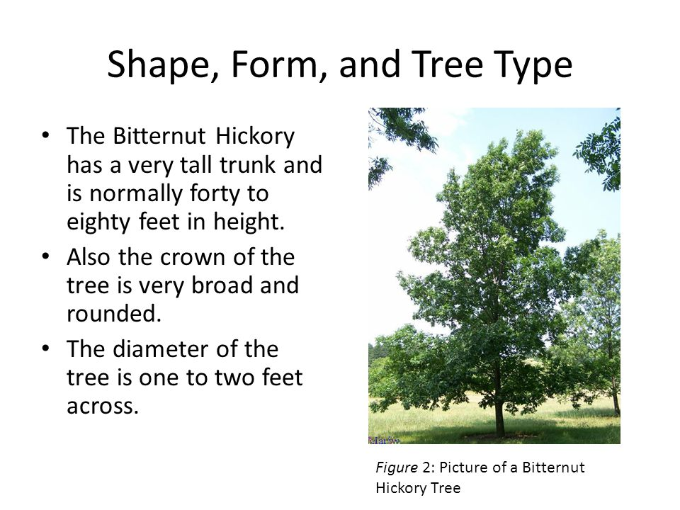 Shape, Form, and Tree Type The Bitternut Hickory has a very tall trunk and is normally forty to eighty feet in height.