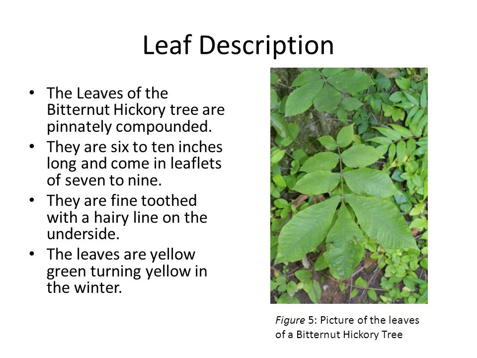 Leaf Description The Leaves of the Bitternut Hickory tree are pinnately compounded.
