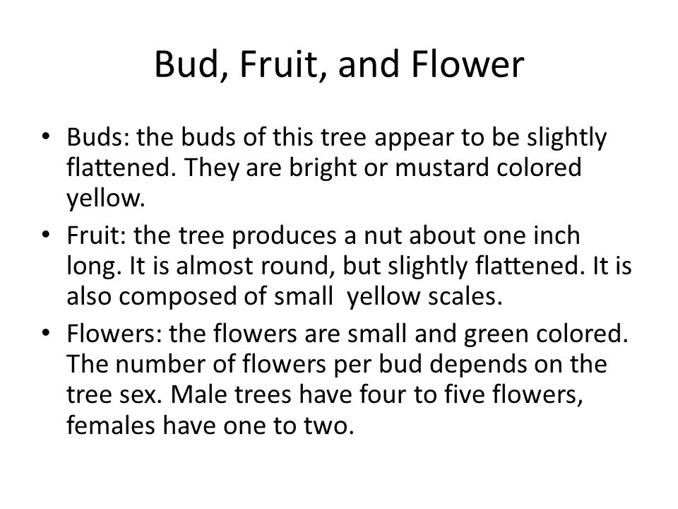 Bud, Fruit, and Flower Buds: the buds of this tree appear to be slightly flattened.