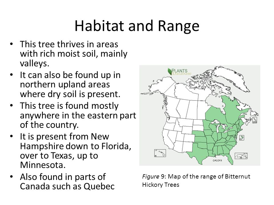 Habitat and Range This tree thrives in areas with rich moist soil, mainly valleys.