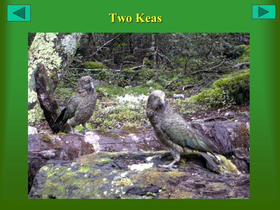 Two Keas