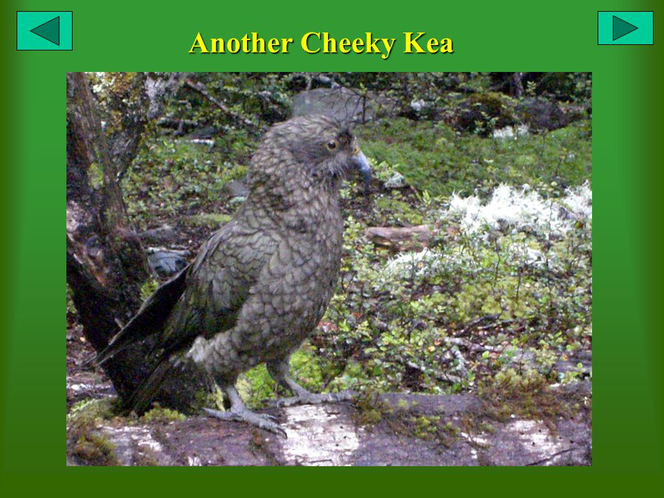 Another Cheeky Kea