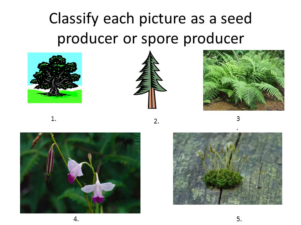 Classify each picture as a seed producer or spore producer 1. 2. 3.3. 4.5.