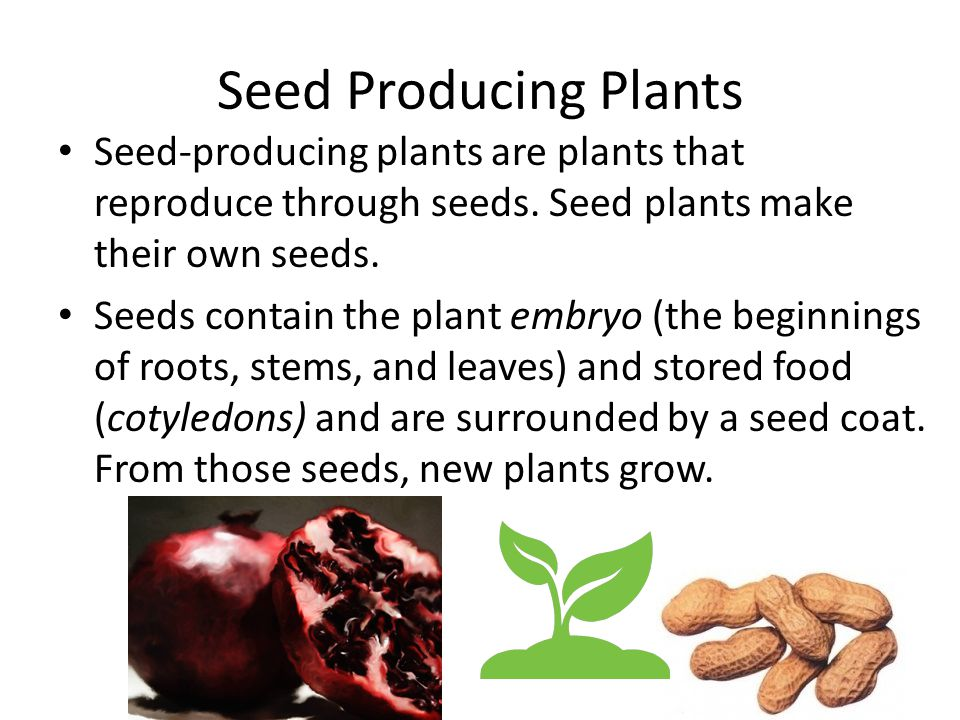 Seed Producing Plants Seed-producing plants are plants that reproduce through seeds. Seed plants make their own seeds. Seeds contain the plant embryo