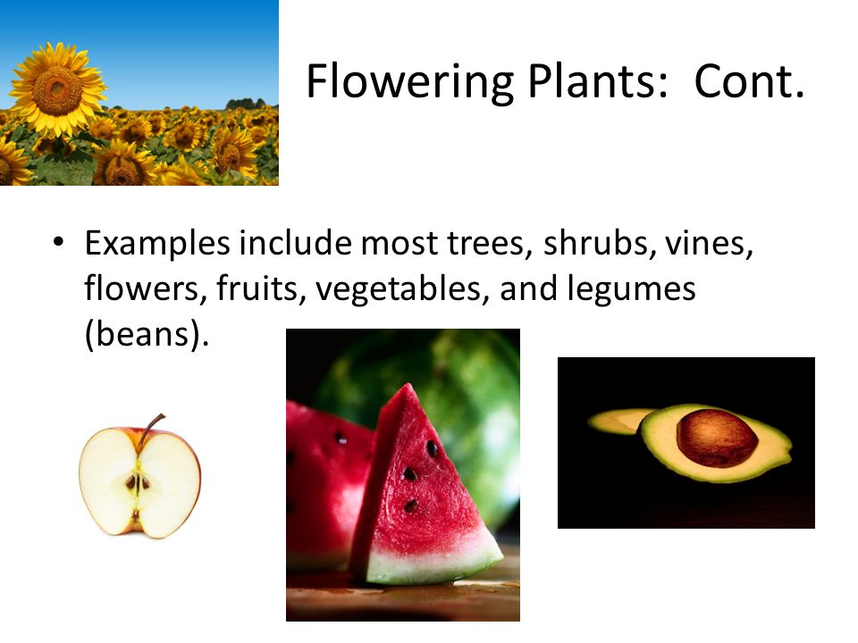 Flowering Plants: Cont. Examples include most trees, shrubs, vines, flowers, fruits, vegetables, and legumes (beans).