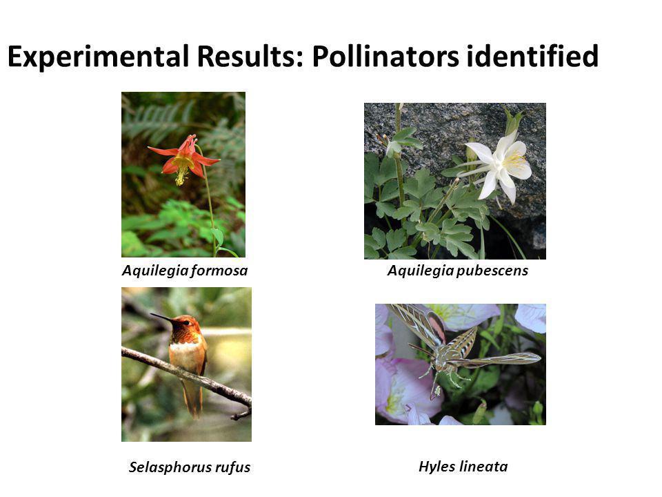 Aquilegia formosaAquilegia pubescens Selasphorus rufus Hyles lineata Experimental Results: Pollinators identified
