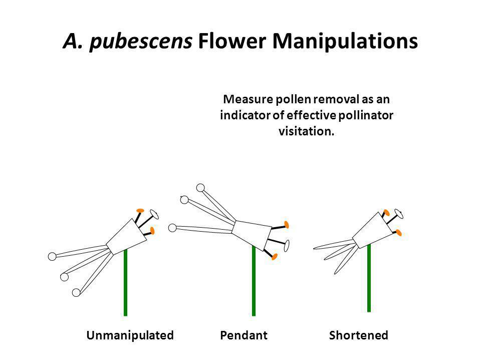 A. pubescens Flower Manipulations UnmanipulatedShortenedPendant Measure pollen removal as an indicator of effective pollinator visitation.