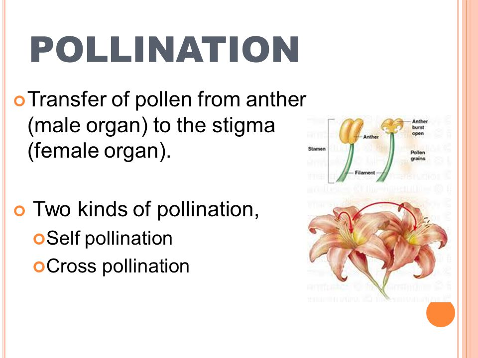 Transfer of pollen from anther to stigma of the same flower / plant S ELF P OLLINATION