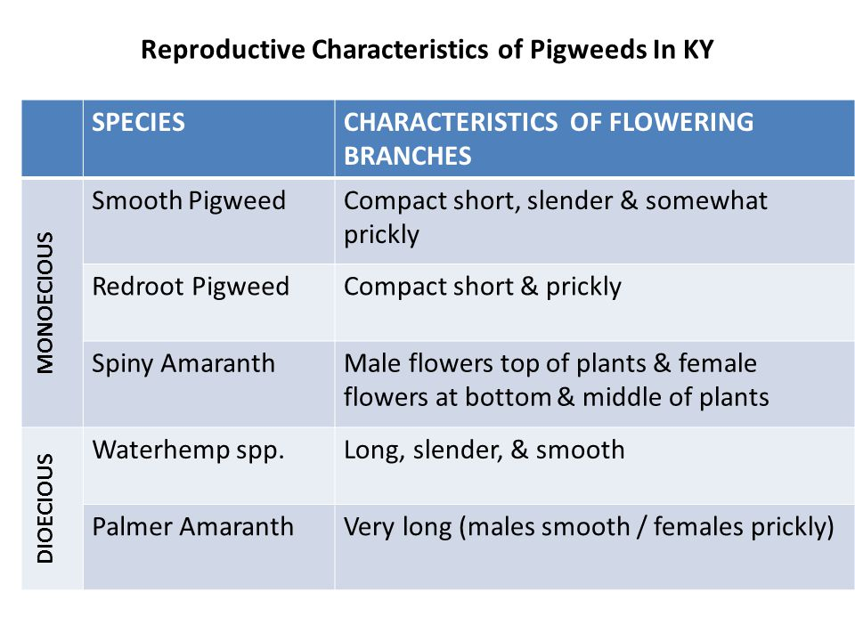 Reproductive Characteristics of Pigweeds In KY SPECIESCHARACTERISTICS OF FLOWERING BRANCHES MONOECIOUS Smooth PigweedCompact short, slender & somewhat prickly Redroot PigweedCompact short & prickly Spiny AmaranthMale flowers top of plants & female flowers at bottom & middle of plants DIOECIOUS Waterhemp spp.Long, slender, & smooth Palmer AmaranthVery long (males smooth / females prickly)