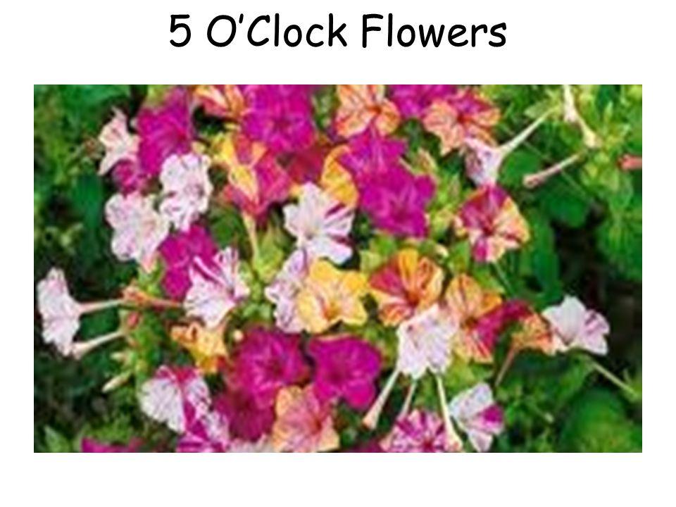 5 OClock Flowers