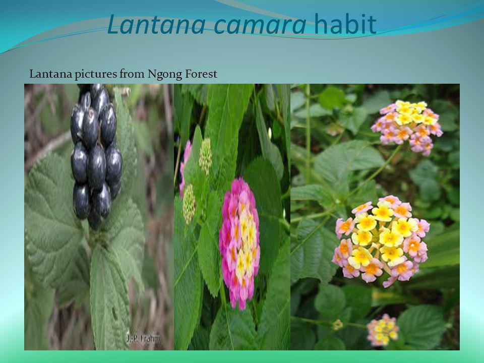 Lantana camara habit Lantana pictures from Ngong Forest