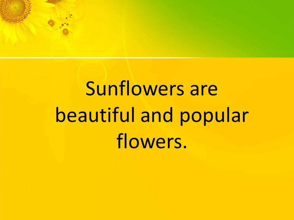 Sunflowers are beautiful and popular flowers.