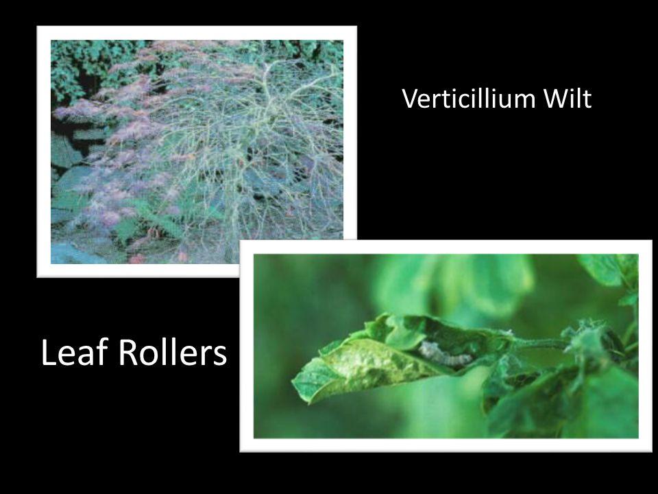 Verticillium Wilt Leaf Rollers