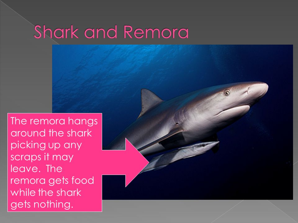 The remora hangs around the shark picking up any scraps it may leave. The remora gets food while the shark gets nothing.