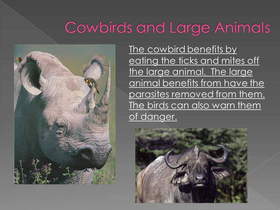 The cowbird benefits by eating the ticks and mites off the large animal. The large animal benefits from have the parasites removed from them. The bird