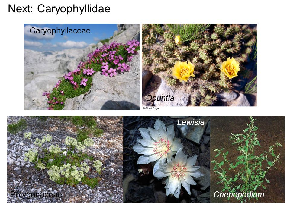 Worldwide: widespread in temperate/tropical New World In Montana: 2-3 genera, <10 species Habit: spiny succulents of deserts, dry places; epiphytes Cactaceae - Cactus family