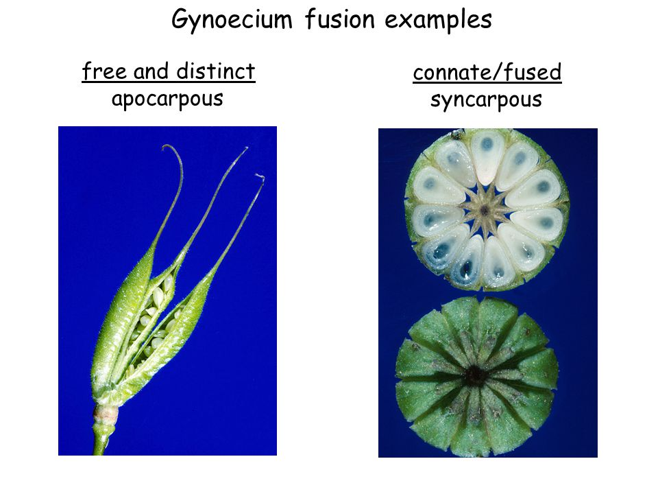 Fusion of the gynoecium monocarpousapocarpous syncarpous (fused carpels) 1 carpel multiple unfused carpels increasingly fused carpels --> each with 3 locules (chambers)