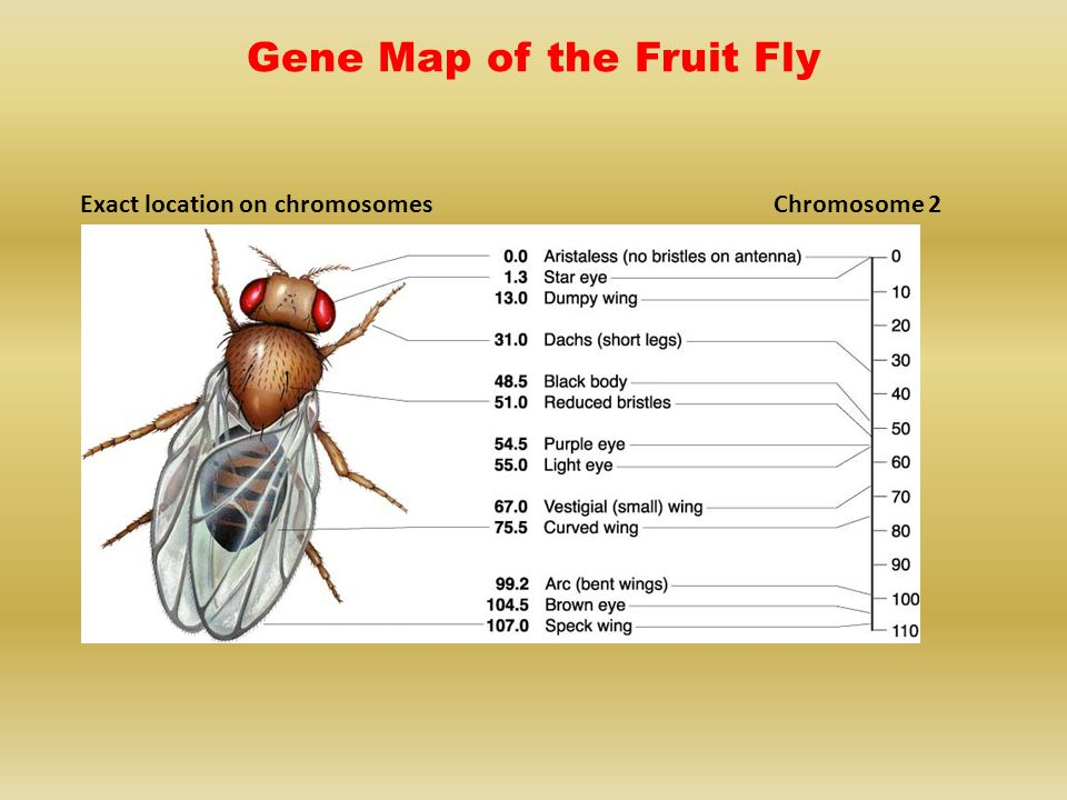 Exact location on chromosomesChromosome 2 Gene Map of the Fruit Fly